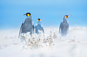King penguins (Aptenodytes patagonicus) walking through a sand storm, Volunteer Point, East Falkland, Falkland Islands,