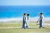 King penguins (Aptenodytes patagonicus) walking, East Falkland, Falkland Islands,