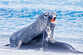 A male Southern Elephant seal (Mirounga leonina) fawning upon a female, Falkland Islands, South Atlantic, South America