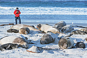 Wissenschaftler, der eine Gruppe südlicher Seeelefanten (Mirounga leonina) zählt, Seelöweninsel, Falklandinseln, Südamerika