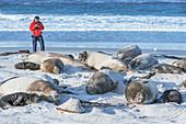 Scientist counting a group of Southern elephant seals (Mirounga leonina), Sea Lion Island, Falkland Islands, South America