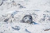 Southern Elephant Seal (Mirounga leonina) pup hiding in the sand, Falkland Islands, South America