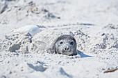 Welpe eines südlichen Seeelefanten (Mirounga leonina), der sich im Sand versteckt, Falklandinseln, Südamerika