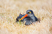 Magellanic oystercatcher (Haematopus leucopodus), Falkland Islands, South America