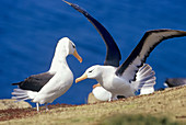 Two adult black-browed albatross (Thalassarche melanophris), Saunders Island, Falkland Islands, South America\n