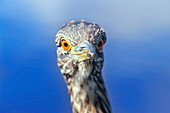 A juvenile black-crowned night heron (Nycticorax nycticorax falklandicus) close-up, Falkland Islands, South Atalantic, South America