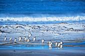 Gentoo Penguins (Pygocelis papua papua) walking on the beach, Falkland Islands, South America
