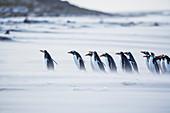 Eselspinguine (Pygocelis papua papua), die auf dem Strand, Seelöweninsel, Falklandinseln, Südamerika gehen