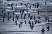 Gentoo Penguins (Pygocelis papua papua) walking, Sea Lion Island, Falkland Islands, South America