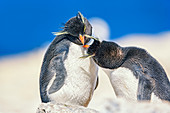Two Rockhopper Penguins (Eudyptes chrysocome chrysocome) in an affectionate mood, Falkland Islands, South Atlantic, South America