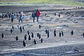 Gentoo Penguins (Pygocelis papua papua) and family walking together, Sea Lion Island, Falkland Islands, South America