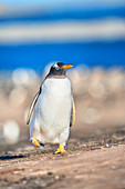 Gentoo Penguin (Pygocelis papua papua) walking, Sea Lion Island, Falkland Islands, South America