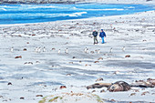 People walking with gentoo penguins (Pygocelis papua papua), Sea Lion Island, Falkland Islands, South America