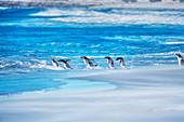 Gentoo penguins (Pygocelis papua papua) jumping into sea water, Sea Lion Island, Falkland Islands, South America