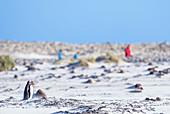Menschen, die Eselspinguin (Pygocelis papua papua), Seelöweninsel, Falklandinseln, Südamerika beobachten