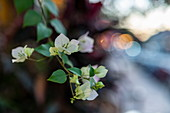 Close up of white boungainvillea flowers on Sisavangvong Road (the main road), Luang Prabang, Luang Prabang Province, Laos, Asia