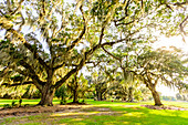 The Tree of Life in Audubon Park, New Orleans, Louisiana, United States of America, North America