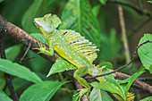 Plumed Basilisk (Basiliscus plumifrons) on a tree branch, Costa Rica, Central America