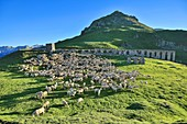 France, Ariege, Flock of sheep grazing near the ruined building at the port of Salau (2,087 m) is a border crossing of the Pyrenees between France and Spain
