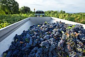 France, Var, Dracenie, Les Arcs sur Argens, grape harvest at Domaine Chateau Sainte Roseline, AOC Cote de Provence