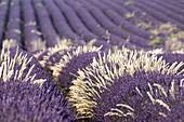 France, Alpes de Haute Provence, Verdon Regional Nature Park, Valensole, lavandin Field