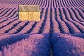 France, Alpes de Haute Provence, Verdon Regional Nature Park, Puimoisson, stone cottage in the middle of a field of lavender (lavandin) on the Plateau de Valensole
