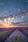 France, Alpes de Haute Provence, Verdon Regional Nature Park, Puimoisson, field of lavender (lavandin) at sunset on the Plateau de Valensole