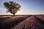 France, Alpes de Haute Provence, Verdon Regional Nature Park, Puimoisson, almond tree (Prunus dulcis) in a field of lavender (lavandin) on the Plateau de Valensole