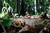 Mushrooms, Masurian Lakes, Węgorzewo, Poland