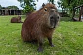 Capybara (Hydrochoerus hydrochaeris) in the meadow of Finca Piedra, San José de Mayo, Colonia Department, Uruguay, South America