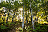 Forest with ferns, Lac de Saint-Etienne-Cantalès, near Aurillac, Cantal department, Auvergne-Rhône-Alpes, France