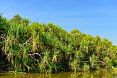 Palm trees on the river and riparian vegetation, Cooinda, Kakadu National Park, Northern Territory, Australia