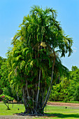 A group of palm trees amidst tropical vegetation, at Jabiru, Kakadu National Park, Northern Territory, Australia