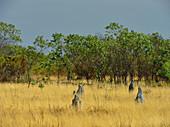 Termitenhügel in der trockenen Graslandschaft, Kakadu National Park, Jabiru, Northern Territory, Australien