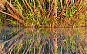 Reflection of a palm tree in the river, Cooinda, Kakadu National Park, Northern Territory, Australia