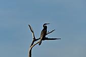 Ein Vogel sitzt auf einem abgestorbenen Baum, Cooinda, Kakadu National Park, Northern Territory, Australien
