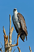 Eagle on a dead tree, Cooinda, Kakadu National Park, Northern Territory, Australia
