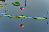 Lotus flower in the river, Cooinda, Kakadu National Park, Northern Territory, Australia