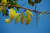 Yellow flowers of a tropical tree against a deep blue sky, Cooinda, Kakadu National Park, Northern Territory, Australia