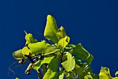 Zweige und Blätter des Kakadu Plum-Baumes vor tiefblauem Himmel, Litchfield National Park, Northern Territory, Australien