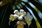Tropical white flower in the sunlight, at Timber Creek, Northern Territory, Australia