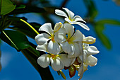 Flowers glow yellowish-white in the sun, Darwin, Northern Territory, Australia