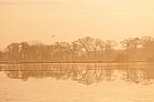 Eichen am Rand des Sumpfes Marais du Cotentin et du Bessin spiegeln sich im Wasser der überfluteten Felder im Winter. Calvados, Normandie