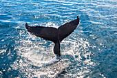 Tail fluke of a humpback whale (Megaptera novaeangliae), Queensland, Australia