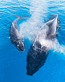 Humpback Whales (Megaptera novaeangliae), Mother and Calf surfacing and exhaling, Fraser island, Queensland, Australia