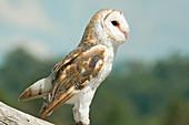 Barn Owl (Tyto alba), Lone Pine Koala Sanctuary, Brisbane, Queensland, Australia