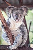 Koala (Phascolarctos Cinereous), Brisbane, Queensland, Australia