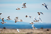 Brown-hooded gulls (Chroicocephalus maculipennis) in flight, Torres del Paine National Park, Patagonia, Chile, South America