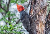 Male Magellanic Woodpecker (Compephilus magellanicus), Torres del Paine National Park, Chile, South America.