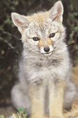 South American gray fox (Lycalopex griseus) kitten, Torres del Paine National Park, Chile, South America